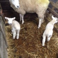 Lambing time in Swaledale